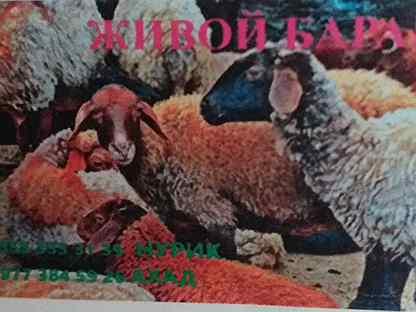 Курдючные бараны овцы, ягнята