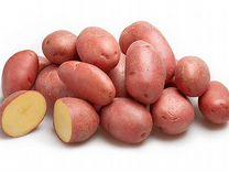 Семенной картофель сорта Ред Скарлет