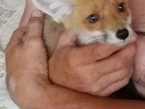 Малышка лисичка