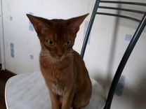 Абиссинская кошечка